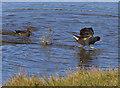 TA1080 : Moorhen demonstrates his 'walk on water' technique by Pauline E