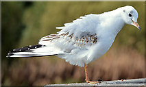J4774 : Black-headed gull, Kiltonga, Newtownards - October 2014(2) by Albert Bridge