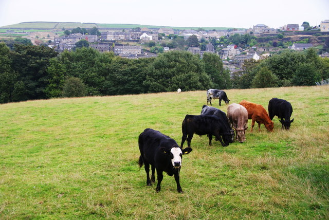Cows above Holmfirth