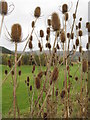 NT2838 : Teasels at Cardrona by M J Richardson