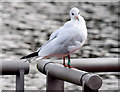 J3371 : Black-headed gull, River Lagan, Stranmillis, Belfast - October 2014(1) by Albert Bridge
