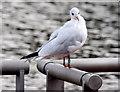 J3371 : Black-headed gull, River Lagan, Stranmillis, Belfast - October 2014(1) by Albert Bridge