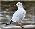 J3371 : Black-headed gull, River Lagan, Stranmillis, Belfast - October 2014(2) by Albert Bridge