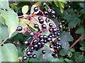 SO6023 : Elder berries by Jonathan Billinger