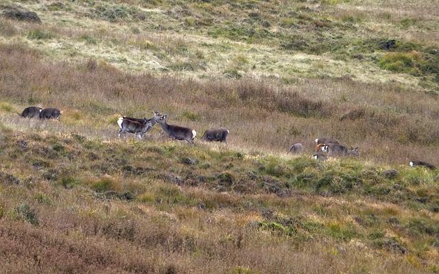 Herd of Sika deer