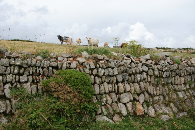 Cows above a stone wall