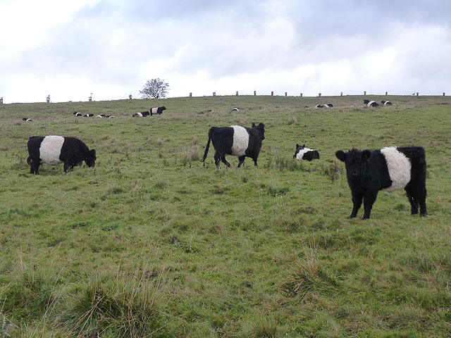 Belted Galloways at Yearhaugh