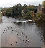 SO5012 : Ducks on the Monnow, Monmouth by Jaggery