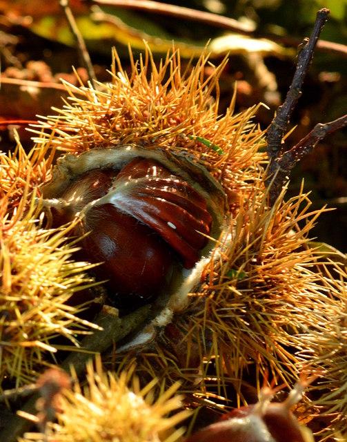 Fruit of the sweet chestnut tree, Sulham Wood, Berkshire