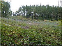 SS6808 : Newly planted trees in Great Wood by David Smith