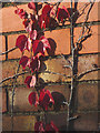 SD4970 : Virginia creeper on red brick, Carnforth by Karl and Ali
