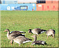 J3575 : Greylag geese, Titanic Quarter, Belfast (October 2014) by Albert Bridge