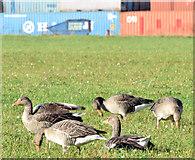 J3575 : Greylag geese, Titanic Quarter, Belfast (October 2014) by Albert Bridge