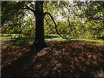 TQ1352 : Beech tree, Polesden Lacey by Alan Hunt