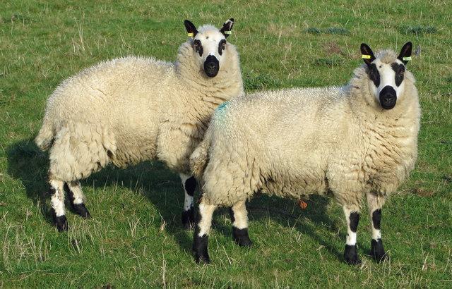 Kerry Hill Sheep at Elsham