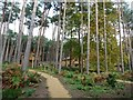TL0136 : 'Oak' lodges in pine woods, Woburn Forest by Christine Johnstone