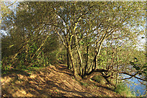 TQ5782 : Tree lined path near lake, Belhus Woods Country Park by Roger Jones