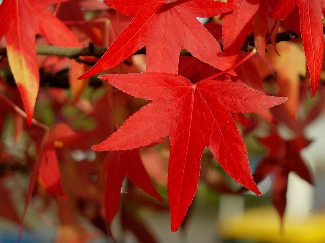 Acer foliage