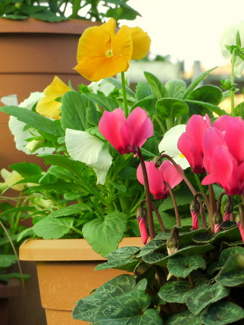 Cyclamen and Pansies