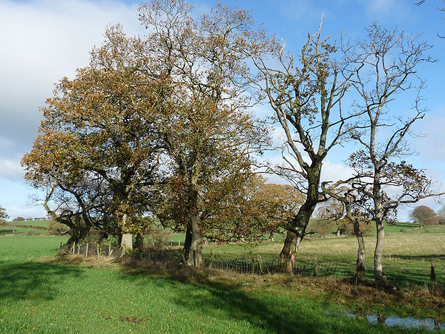 Trees by the lane to Cumwhitton