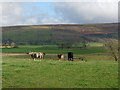 NY5252 : Field with cattle near Carlatton Demesne by Oliver Dixon