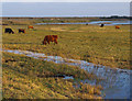 TM4766 : Highland cattle, Minsmere by Ian Taylor