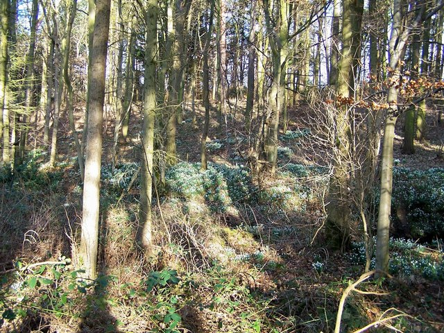 Snowdrops among the trees