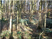 NU2024 : Snowdrops among the trees by David Chatterton