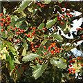 SP2080 : Swedish Whitebeam foliage and fruit by Robin Stott
