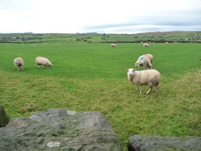 Sheep grazing west of High and Middle Marchup