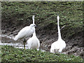 SP9012 : Little Egrets displaying at Wilstone Reservoir by Chris Reynolds