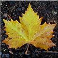 SO6023 : Maple leaf by Jonathan Billinger