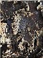 NS3974 : A lichen - Lasallia pustulata by Lairich Rig