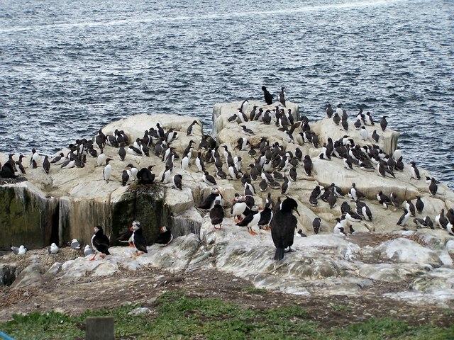 Mixed group of seabirds, Farne Islands
