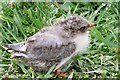 NU2135 : Young tern by David Chatterton