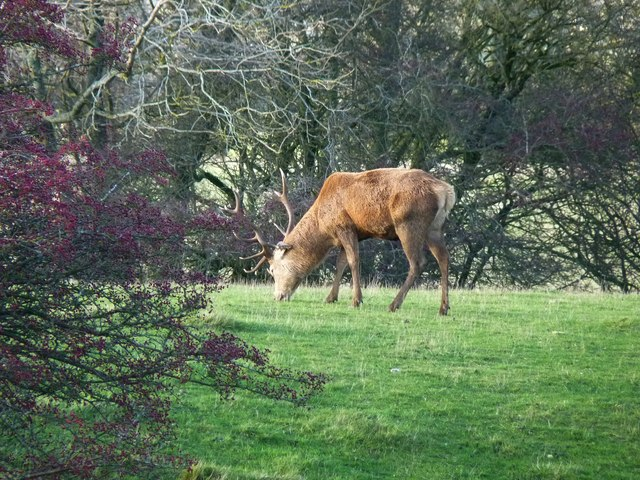 Grazing stag