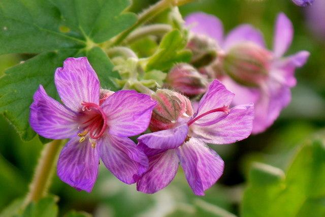 Geranium macrorrhizum, hardy geranium