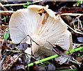 J3370 : Fungi, Lagan Meadows, Belfast - November 2014(2) by Albert Bridge