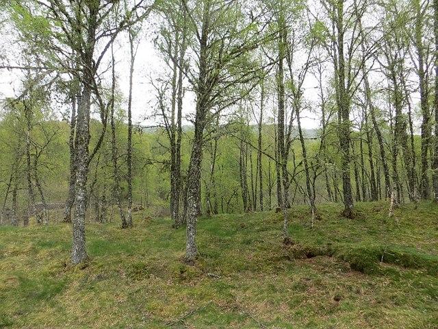 Birch woods by Fasnakyle Bridge