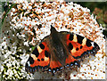 NO6947 : Small Tortoiseshell (Aglais urticae) by Anne Burgess