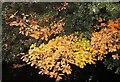 SE1664 : Oak leaves, Glasshouses by Derek Harper