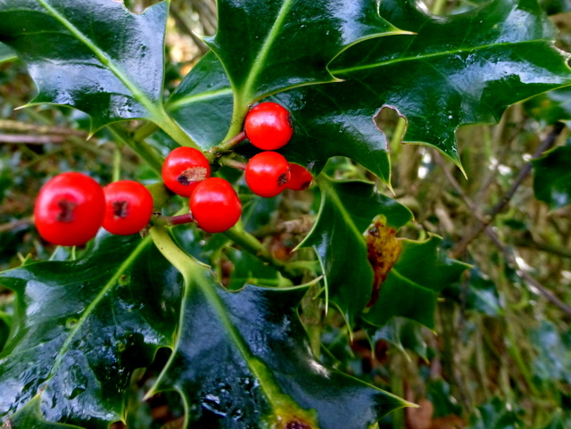 Holly berries, Mullaghmore