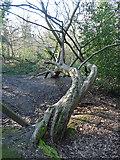 TQ3472 : Sydenham Hill Woods (2) by Stephen Richards