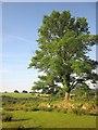 SX5388 : Ash tree at the moor's edge by Derek Harper