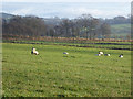 NY4871 : Field with sheep near Windyhill Farm by Oliver Dixon
