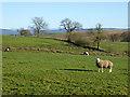 NY4976 : Sheep at Sleetbeck Farm by Oliver Dixon