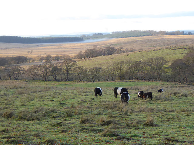 Belted Galloways by the Bewcastle Road