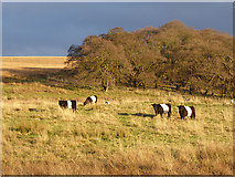 NY5571 : Belted Galloways at High Park by Oliver Dixon