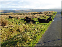 NY5675 : Cattle by the road above Bewcastle by Oliver Dixon