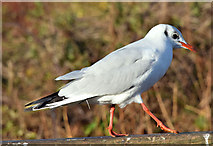 J4774 : Black-headed gull, Kiltonga, Newtownards - December 2014(2) by Albert Bridge